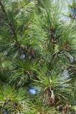 Closeup of the pine buds and needles Royalty Free Stock Photography