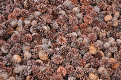 Closeup of pine cones Royalty Free Stock Photo
