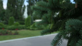 Closeup of Pine or Fir Tree Branches Moving on Wind. Green Pine Branch Moving in the Light Wind Breeze on Sunny Day. Pine Needles in Summer. Closeup. Green Pine stock footage