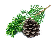 Closeup pine and leaves pine on white background Stock Photos