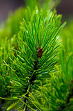 Closeup of Pine Needles and Bough royalty free stock image