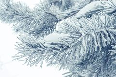 Winter needles closeup Royalty Free Stock Images