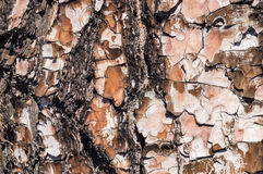Closeup on pine rind texture Stock Image