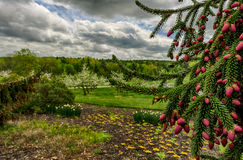 Closeup of Pine Tree with Apple Trees in Background Stock Images
