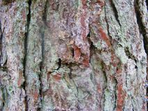 Closeup of a pine tree bark in the woods. Pine tree bark in the woods Stock Image