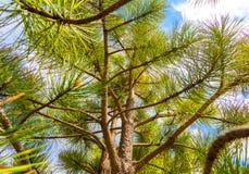 Closeup pine tree branch Stock Photography