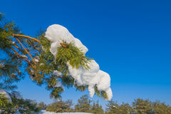 Closeup pine tree branch Stock Image