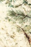 Closeup of pine tree Stock Images