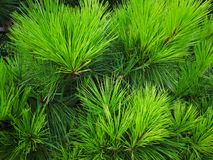 Closeup of the pine tree leaves. Green pine tree leaves background Stock Photos