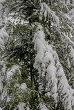 Heavy snow covers the limbs of a pine tree. Closeup pine tree with the limbs covered with snow Stock Images