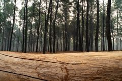 Closeup of pine tree log lying on the ground with pine tree forest as background. 1 stock image