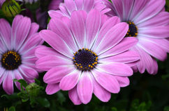 Closeup of pink african daisies. Blooming in spring Royalty Free Stock Photos