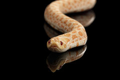 Closeup Pink Albino Western Hognose Snake, Heterodon nasicus isolated black. Closeup Pink pastel Albino Western Hognose Snake, Heterodon nasicus isolated on stock photography