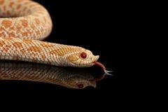 Closeup Pink Albino Western Hognose Snake, Heterodon nasicus isolated black. Closeup Pink pastel Albino Western Hognose Snake, Heterodon nasicus isolated on stock image