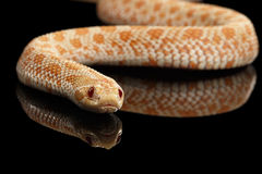 Closeup Pink Albino Western Hognose Snake, Heterodon nasicus isolated black. Closeup Pink pastel Albino Western Hognose Snake, Heterodon nasicus isolated on stock images