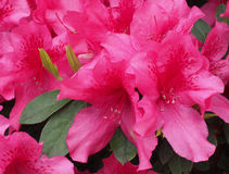 Closeup of Pink Azaleas Royalty Free Stock Photos