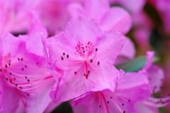 Closeup of pink azaleas. Shows interior structure of the stock images
