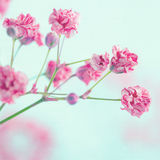 Closeup of pink baby's breath flowers Royalty Free Stock Photos