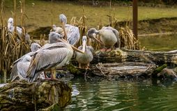 Closeup of a pink backed pelican standing a tree trunk with his family in the background, pelicans at the water side, Birds from stock images