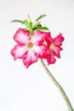 Closeup of Pink Bigononia or Desert Rose (tropical flower). With raindrop on white background Stock Photos