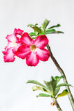 Closeup of Pink Bigononia or Desert Rose (tropical flower). With raindrop on white background Royalty Free Stock Photography