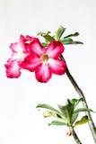 Closeup of Pink Bigononia or Desert Rose (tropical flower). On white background Stock Image