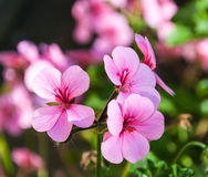 Pink flowering Pelargonium Stock Images
