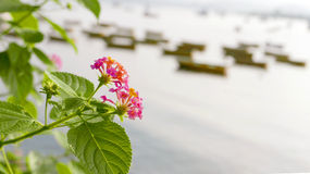 Closeup pink blossom flowers with leaves near sea Stock Image