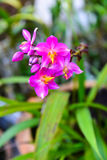 Closeup pink blossom orchid Stock Images