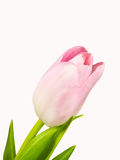 Closeup of the pink blossom of tulip isolated on white background Royalty Free Stock Images
