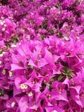 Closeup on a pink Bougainvillea bush Stock Photo