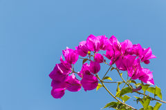 Closeup of pink bougainvillea flowers and leaves Royalty Free Stock Photos