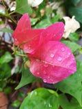 Pink bougainvillea closeup Stock Photo