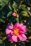 Closeup of pink camellia sasanqua flower Royalty Free Stock Photos