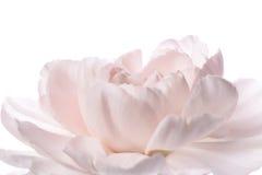 Closeup of pink carnation Stock Photo