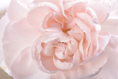 Closeup of pink carnation Stock Images
