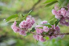 Pink cherry blossom flowers at spring Royalty Free Stock Photos