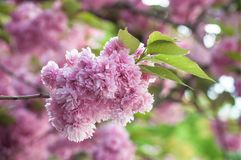 Pink cherry blossom flowers at spring Royalty Free Stock Photography