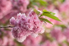 Pink cherry blossom flowers at spring Royalty Free Stock Image