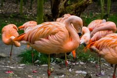 Closeup of a pink Chilean flamingo with his family in the background, Near threatened bird specie. A closeup of a pink Chilean flamingo with his family in the stock image