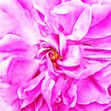 Closeup Pink Chinese Rose Fine Art. Digital painting created by hand using several techniques to resemble watercolor on paper Stock Images