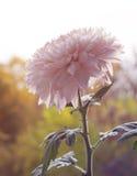 Closeup of pink Chrysanthemum Royalty Free Stock Photo