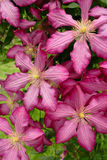 Closeup pink clematis in garden. Closeup attractive pink clematis in summer garden Stock Image