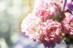 Closeup of pink climbing rose bush in bloom. royalty free stock photos