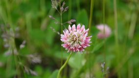 Closeup of pink clover plants grow in meadow. Trifolium hybridum. HD video footage shooting of static camera stock video footage