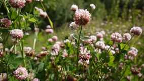 Closeup of pink clover plants grow in meadow. Trifolium hybridum. HD video footage shooting of static camera stock footage