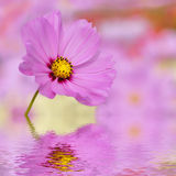 Closeup of pink cosmos flower above the water Royalty Free Stock Photography