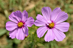 Closeup of pink cosmos flowers Royalty Free Stock Photos