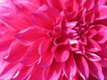 Closeup of Pink Dahlia. Close up of a flamingo-pink dahlia flower Royalty Free Stock Photo