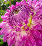 Closeup of Pink Dahlia Flower Royalty Free Stock Photography